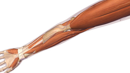 Female Arm and Elbow Muscles