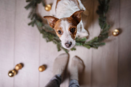 Happy New Year, Christmas, Jack Russell Terrier. holidays and celebration, pet in the room