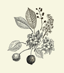 Vector leaves, flowers and fruits of the wild pear, bird-cherry and crab