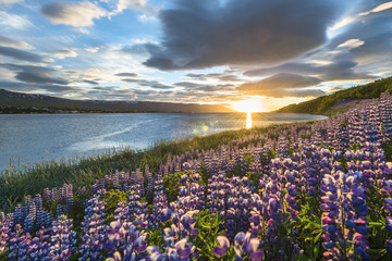 Akureyri, Northern Iceland. Fields of lupins and midnight sun.