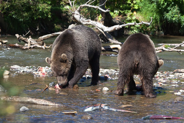 Brown wild bears eat fish. Bear stands in front of one. Another bear ass in the river with salmon