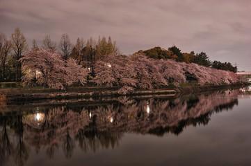 夕暮れ時の桜.