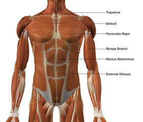 Male Front Torso Muscle Chart