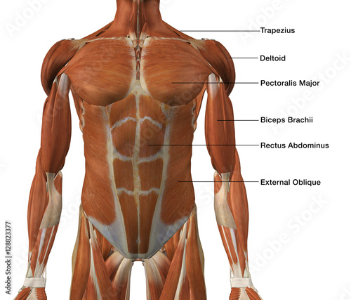 Male Front Torso Muscle Chart\