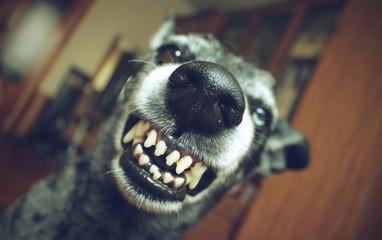 Grey shepherd grins in the house