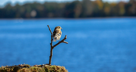 American Goldfinch lands on tree branch by lake