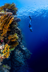 Wall Mural - Freediver descending along the vivid reef wall. Red Sea, Egypt