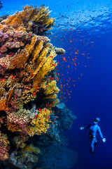 Wall Mural - Underwater shot of the lady free diver ascending along the vivid coral reefs. Red Sea, Egypt