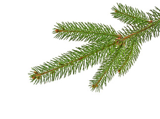 Fir tree branch isolated on a white background