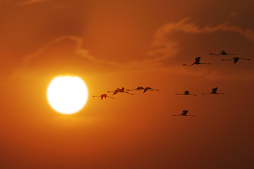 Flamingoes flying wth sun