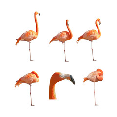 Greater Flamingos sleeping resting and standing isolated on white background. Pack of images.