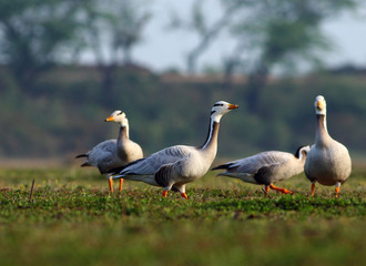 Fight of Goose
