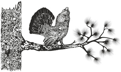 Wood-grouse on a tree/Black-and-white drawing performing courtship ritual capercaillie on a branch of cedar. Eps format and Jpeg.