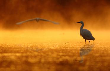 Egrets at sunrise Time