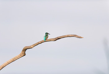 Common kingfisher perching on dead branch.