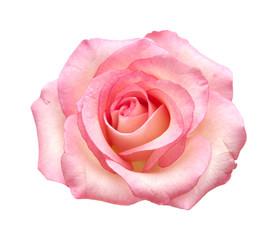 Photo sur Aluminium Roses gentle pink rose isolated