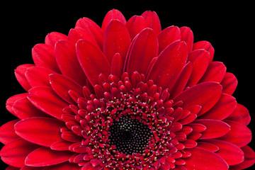 Red gerbera flower, macro image. Wallpaper for desktop