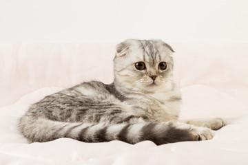 Portrait of scottish fold cat lying on a bed.