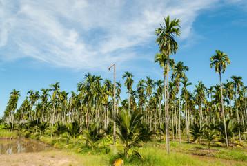 Betel palm farm