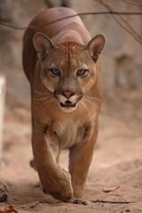 Der Puma oder auch Berglöwe