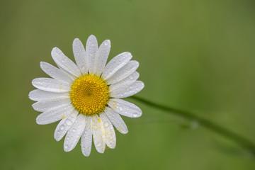 Daisy #3
