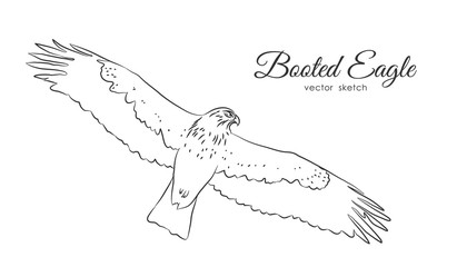 Vector illustration: Black sketch of Booted Eagle in fly  on white background.