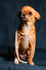 red-haired Chihuahua in Studio