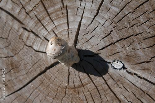l piote sur un tronc d 39 arbre coup champignon stock photo and royalty free images on fotolia. Black Bedroom Furniture Sets. Home Design Ideas