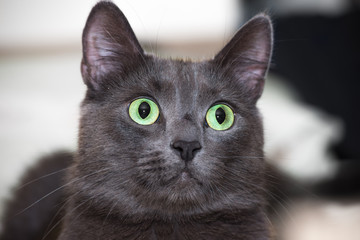 The green-eyed grey cat lying and looking