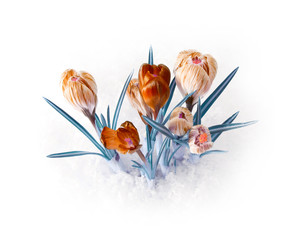 spring crocus flower bouquet
