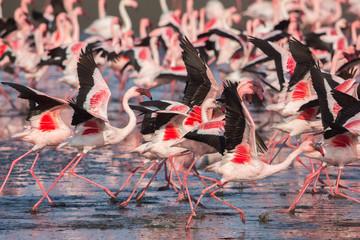 Garden Poster Flamingo Group of lesser flamingos taking flight (Phoeniconaias minor), Walvis bay, Namibia