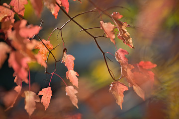 Maple branches with bright pink leaves.
