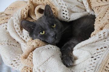 severe gray cat