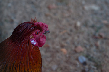 Portrait of a rooster in profile close-up.