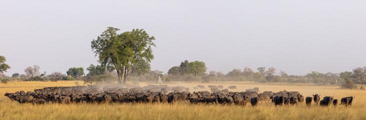 African buffalo or Cape buffalo (Syncerus caffer) herd. Okavango Delta. Botswana
