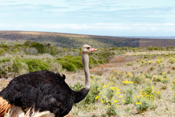 Ostrich grazing in the field