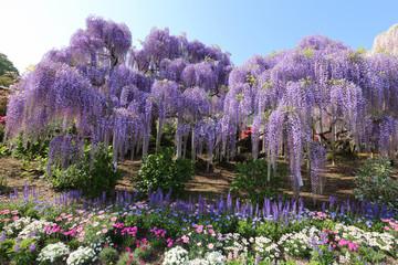 あしかがフラワーパーク 紫藤