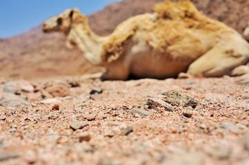 Camel at Sinai mountains, Egypt