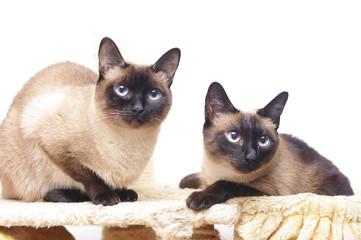 Schöne Siamkatze vor weißem Hintergrund