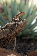 lizard sitting on rock