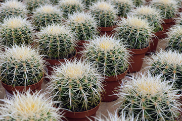 Search photos lined up Cactus pots for sale