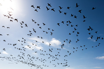 Swarm of wild geese flying against blue sky