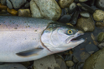 Fresh caught Alaskan Salmon