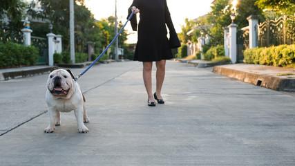 A woman is walking with English Bulldog.