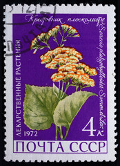 """USSR - CIRCA 1972. Postage stamp of the series """"Medicinal Plants"""" with a picture of Groundsel (Senecio platyphylloides Somm. Et Levier), circa 1972"""
