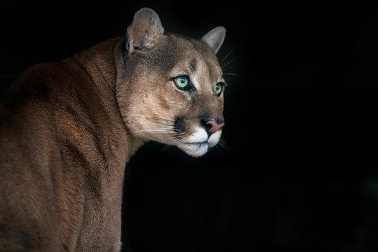 Puma portrait isolated on black background