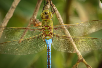 Turquoise and Green Dragonfly