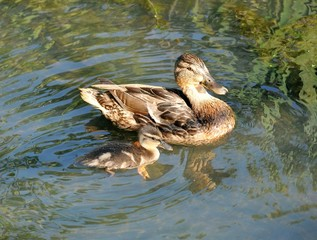 wild duck with little duckling