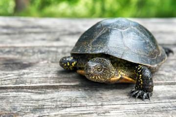 Big turtle on old wooden desk