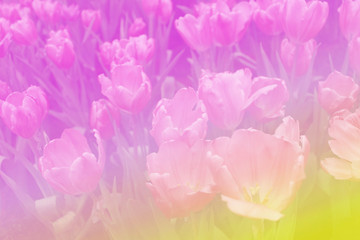 Abstract beautiful colorful tulip in pastel color blur background